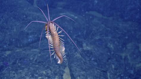 Flamboyant Squid Worms Found Near Galapagos | Nautilus Live