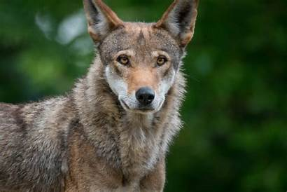 Wolf American Story Cut Resilience Film Population
