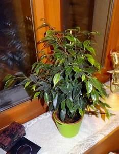 Comment Tailler Un Ficus : mon ficus mes premiers bonsai pr sentation et premiers ~ Melissatoandfro.com Idées de Décoration