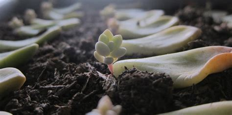 succulents in water propagating succulents needles leaves