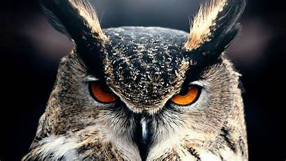 4k Owl Eyes Wild Nature Wallpapers Gray