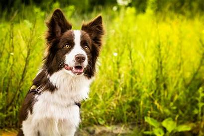 Collie Border Dogs Background Desktop Wallpapers Dog