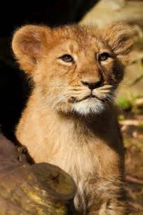 Baby Lion Cubs
