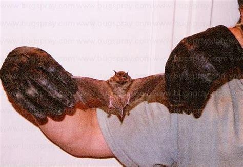 brown bat brown bat pic brown bat picture bat pic bat