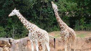 How Do Giraffes Mate | www.pixshark.com - Images Galleries ...