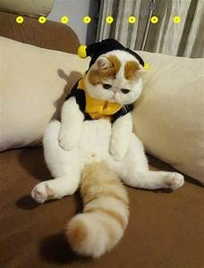 Meet Snoopy the Exotic Shorthair Cat (22 Pics)   Pleated Jeans
