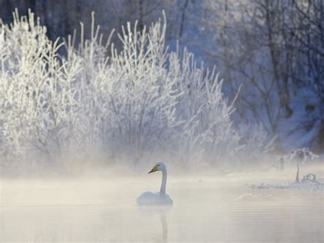 winter whooper swan hd wallpaper  downloads