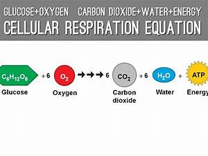 Cellular Respiration Equation Diagram Image collections ...