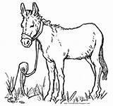 Donkey Coloring Jesus Tied Easter Colt Bible Young Seated Sat Found sketch template