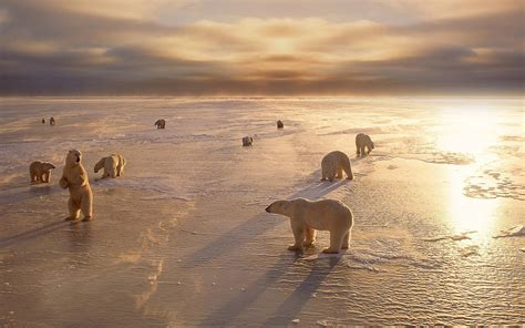 polar bears arctic ice wallpaper hd  dekstop