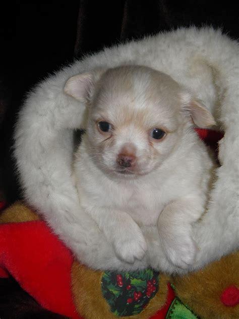 chi chon bichon frise chihuahua mix info care puppies