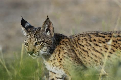endangered mammals wild cat cryopreservation highly cats lynx iberian wildcat chance animals most izw credit worldwide sciencedaily
