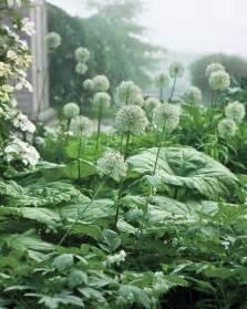 White Alliums in the Garden