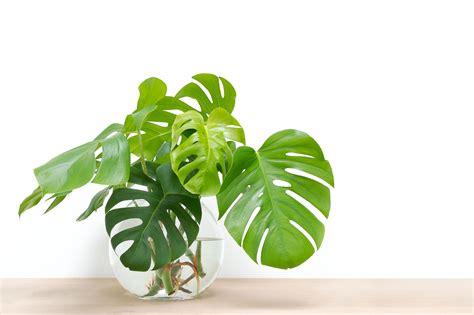 stecklinge in erde zimmerpflanzen aus stecklingen ziehen unsere top 10 plantura