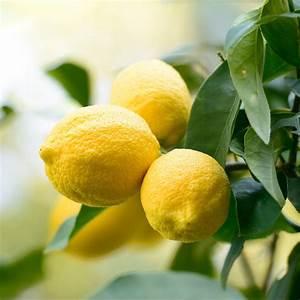 Tailler Un Citronnier : citronnier des 4 saisons plantes et jardins ~ Melissatoandfro.com Idées de Décoration