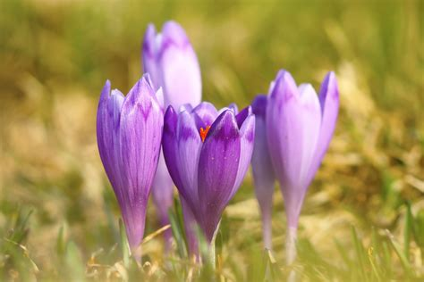 saffron crocus bulbs crocus sativus buy 3 sets and get