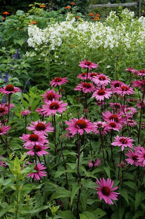 echinacea merlot echinacea merlot phlox paniculata david envy