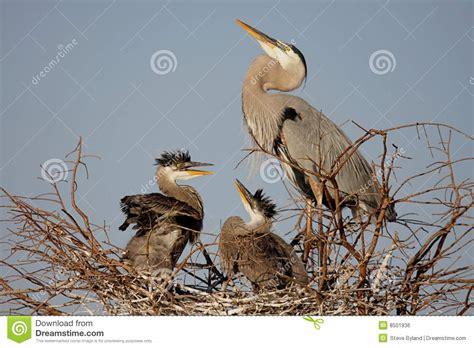 great blue heron  babies royalty  stock image