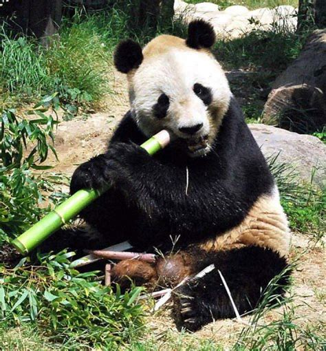 panda japan zoo breeding site