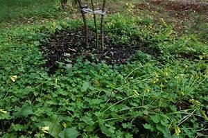 Edible Alconasser: Ground cover