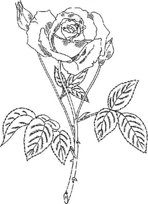 amazingly beautiful rose coloring page  print  coloring pages   color