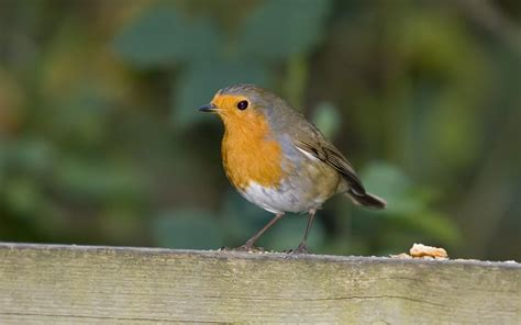 Robin Full Hd Wallpaper And Background Image 1920x1200