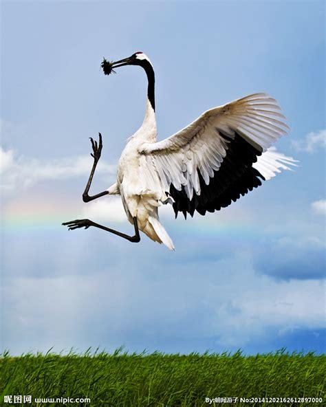 丹顶鹤摄影图鸟类生物世界摄影图库昵图网nipiccom