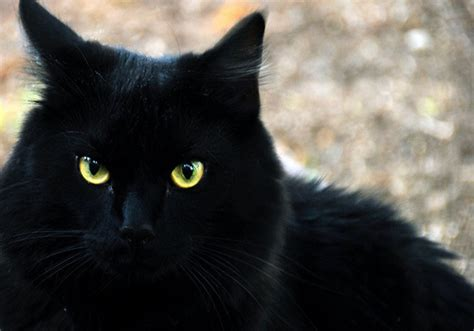 black cat superstition contest 13 what is your pet superstition sharath komarraju