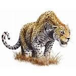 Leopard Transparent Background Panthera Augusta Animal Clipart