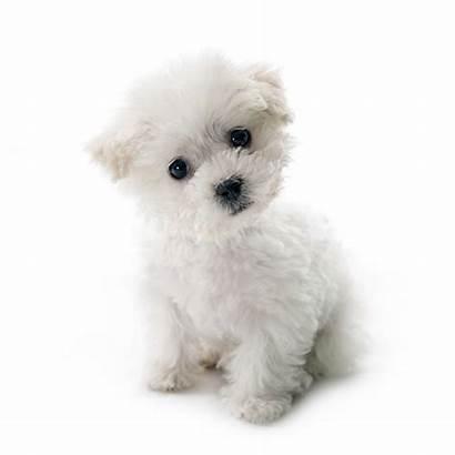 Dog Bichon Frise Puppy Puppies Breeder Poodle