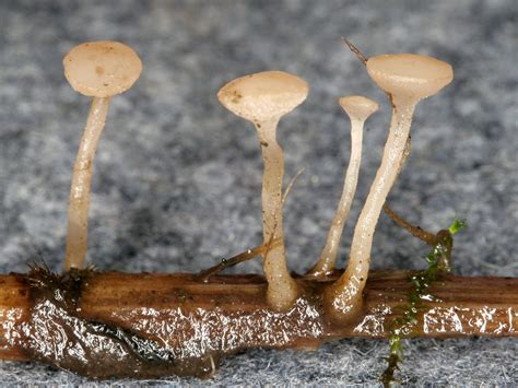 california fungi cudoniella clavus