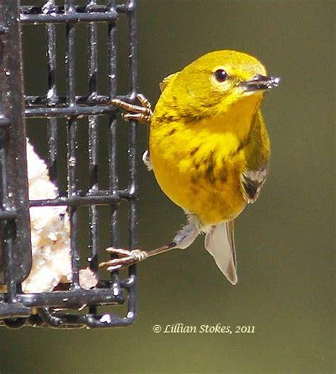 stokes birding blog pine warbler eating suet
