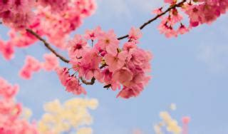 Japanese cherry tree planting pruning & caring for