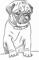 Pug Coloring sketch template