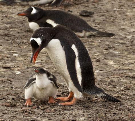 gentoo penguin  zealand birds