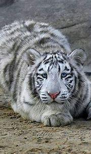 White tiger | Amazing animal pictures, Animals, Wild cats