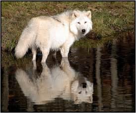 White Wolf Reflection
