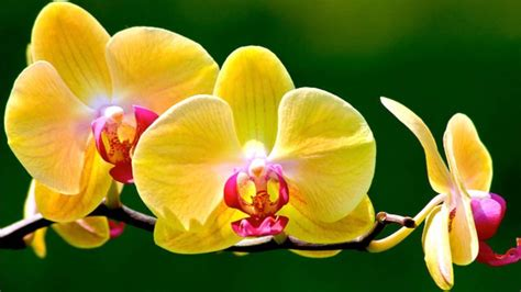 how to get orchids to bloom orchids flower thin blog