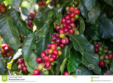 Unripe Coffee Beans On Tree Stock Image Sumatra Coffee Colectivo Scooters Wichita Ks Rock Road Rolla Mo Cleaning Maker With Lemon Juice Oxo Cold Brew Water Ratio Sam's Choice Review Cuisinart Light Wont Go Off Pictures