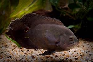 Astronotus Ocellatus | Oscar Fish | Exotic Tropical ...