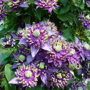 Kletterpflanzen Mehrjährig Winterhart : wundersch nen schnellwachsende rankpflanze sichtschutz ~ Michelbontemps.com Haus und Dekorationen