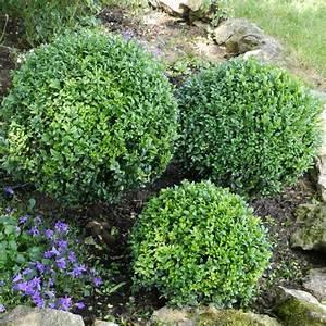 Boule De Buis : buis boule petites feuilles 39 faulkner 39 pot de 10 litres ~ Melissatoandfro.com Idées de Décoration