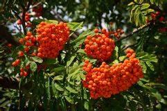 Baum Mit Roten Beeren : ausgereifte aschebaum beeren stockfoto bild von betrieb nave 3303848 ~ Markanthonyermac.com Haus und Dekorationen