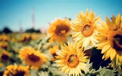Desktop Backgrounds Flowers Happy Yellow Sunshine Sunflower