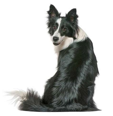 border collie names  cute male  female collies