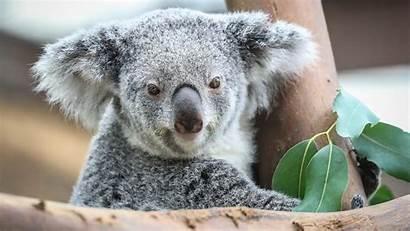 Koala Animal Animals Wallpapers Backgrounds Walls Hdnicewallpapers