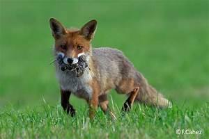 Que Donner A Manger A Un Ecureuil Sauvage : renard esp ces nuisibles invasives ~ Dallasstarsshop.com Idées de Décoration