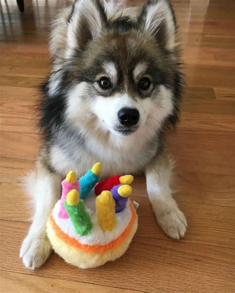 meet norman husky pomeranian puppy cute    world