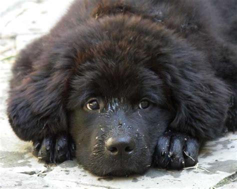 races de chiens terre neuve frawsy