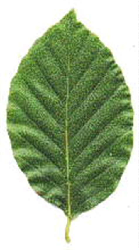Aristolochia clematitis, birthwort pfaf plant Database